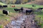 cattle in stream
