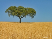 oak_on_wheat_field